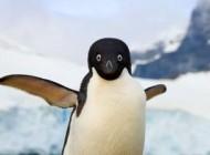 چرا پنگوئن ها قادر به پرواز کردن نیستند