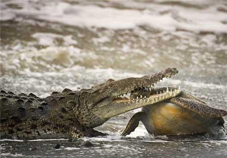 دفاع لاکپشت در برابر کروکودیل غول پیکر + عکس
