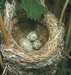 دلیل تخمگذار بودن پرندگان چیست؟