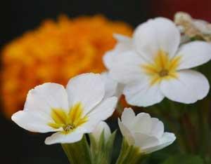 این گل برای پوست مفید است!