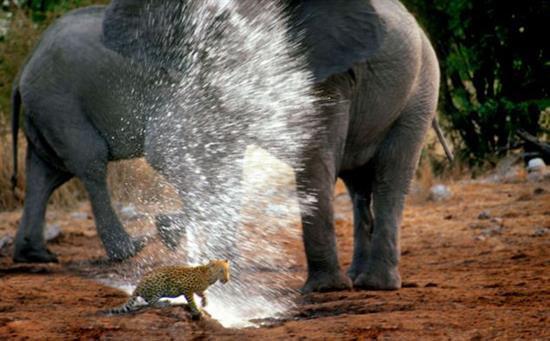 حمله فیل به پلنگ با خرطوم پر از آب! + عکس