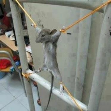 تاحالا دیدی دست و پا موش رو طناب پیچ کنن!!؟