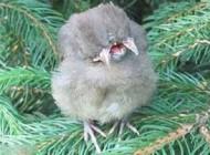 جوجه پرنده عجیب با دو سر و سه منقار! (+عکس)