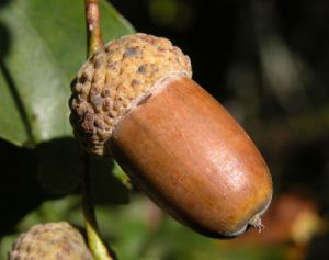 آشنایی با خواص میوه بلوط