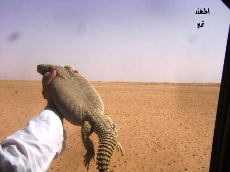 عکس های چندش آور از سوسمار خوری عربستانی ها