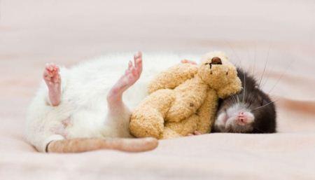 عکس های دیدنی از موش های قشنگ و ناز خانگی