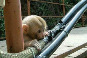میمون هایی که فیبر نوری اینترنت را خوردند!! (عکس)