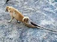 سگ باهوشی که برای گدایی غذا خودش را به فلجی زد