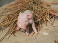 بچه خوکی صورتی رنگ با دو پوزه و سه چشم! عکس