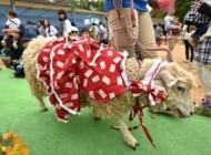 گوسفند باحالی که با 20 ژاکت مردانه زندگی میکرد