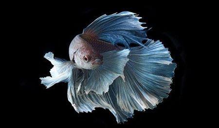 عکسهای زیباترین و عجیب ترین ماهی های تزیینی جهان