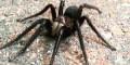شکار بزرگترین و ترسناک ترین عنکبوت جهان + عکس