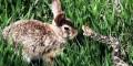 چشم تو چشم خرگوش با یک مار برای نجات فرزندانش