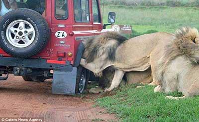 حمله شیرهای گرسنه به اتومبیل گردشگران (عکس)