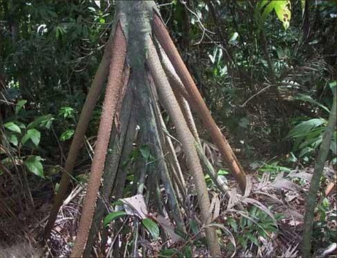 باور نکردنی، درخت عجیبی که راه میرود! (عکس)