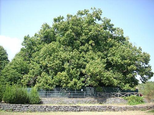 پیرترین درختان کهن روی زمین که هنوز زنده اند (عکس)
