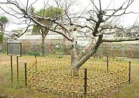 عکس های نایاب درخت سیبی که نیوتن زیر آن نشسته بود