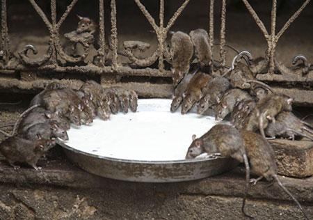 سربازان این معبد 20،000 موش مقدس هستند! (عکس)