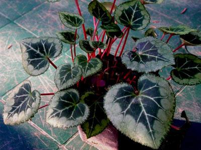 آشنایی با گل سیکلامن و شرایط نگهداری آن (عکس)