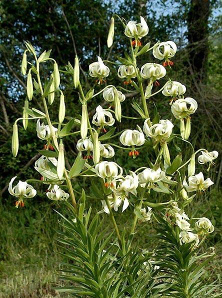 عکس هایی زیبا از گل سوسن چلچراغ