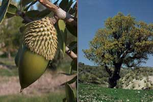 دانستنی های جالب و خواندنی درباره درخت بلوط
