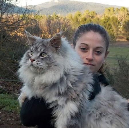 عکس های باورنکردنی از گربه های عظیم الجثه و پشمالو