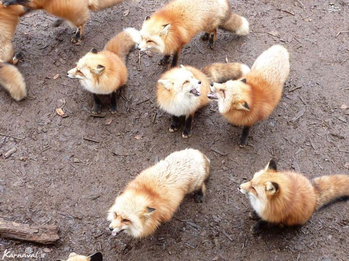 تصاویر دیدنی از دهکده روباه ها در ژاپن