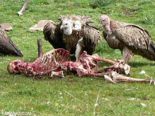 عکس های وحشتناک سنت خوردن انسان توسط لاشخورها
