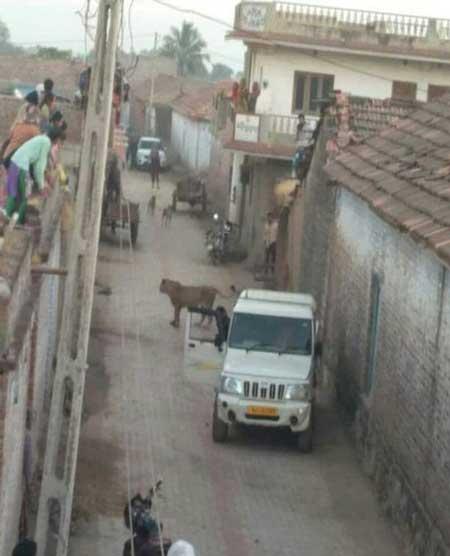 شیری که به روستاییان حمله کرد+تصاویر