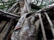 پیرترین درخت انجیر جهان با 400 تنه قطور + تصاویر