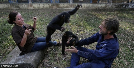 این زوج 34 شامپانزه را به فرزندی قبول کردند + عکس