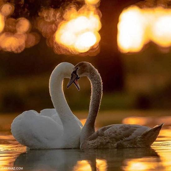 زیباترین عکس ها از قو های عاشق