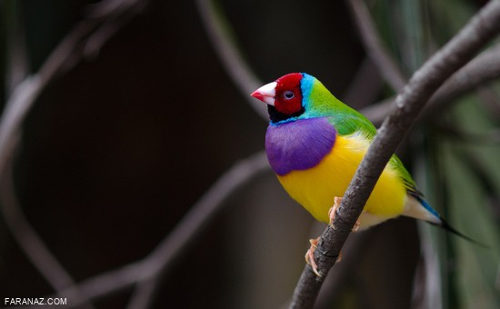 عکس هایی از زیباترین مخلوقات خدا و پرندگان زیبا