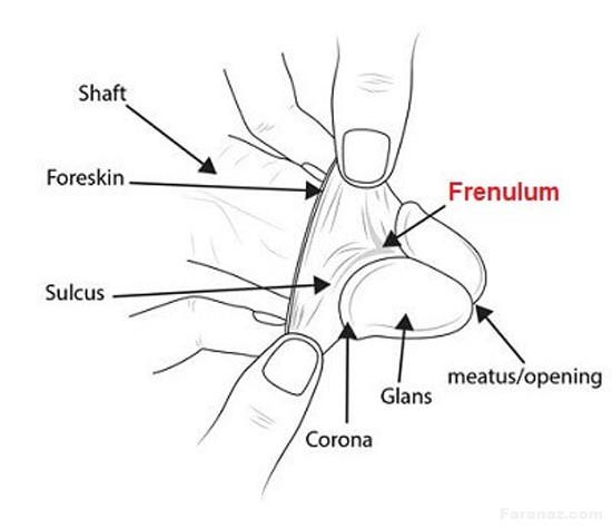 همه چیز درباره فرنولوم آلت تناسلی و ارگاسم مرد + تصویر آموزشی