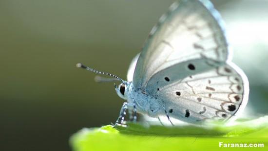 عکس های خارق العاده و زیبا از دنیای پروانه ها