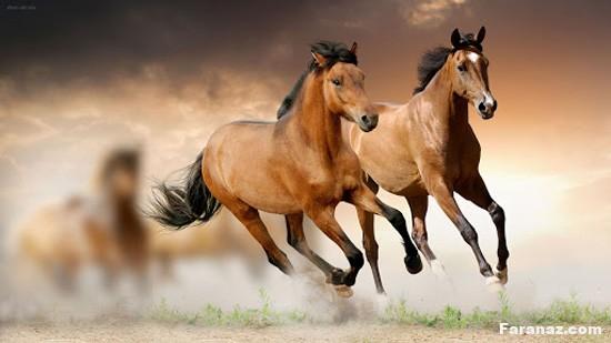 عکس های جدید و خارق العاده از اسب های نژاد دار و زیبا