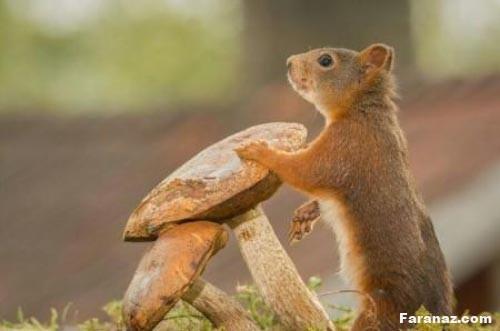 عکس سنجاب   عکس های ناب شکار شده از سنجاب های زیبا