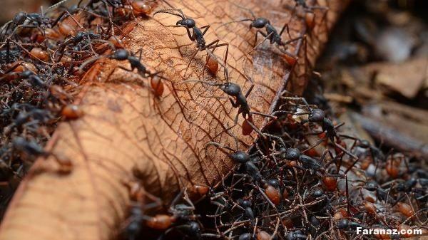 تعبیر خواب مورچه چیست ؟ تعبیر خواب دقیق دیدن مورچه و انواع آن در خواب